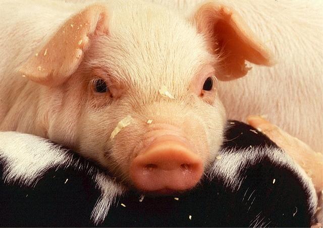 Kastenstand – Wann wollen wir endlich aufhören Schweine zu quälen?